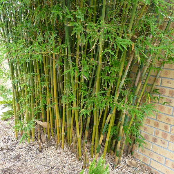 Bamboo Hedge Australia